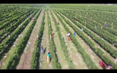 Awash Wine Vineyard